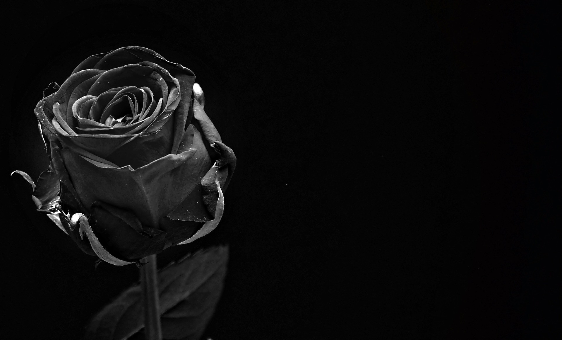 Trauer schwarze Rose